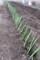 雨降前に、「下仁田ネギ」を1列…。(30.3.14)