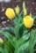 春雨に洗われ鮮やかな、「黄色のチューリップ」(30.4.15)