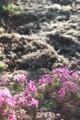 西日に、白く浮き上がって見える「ホウキグサ(箒草)」の発芽。(30.4.