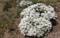 賢治ガーデン、「イベリス」の大株、見事な花盛り。(30.4.16)