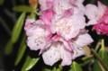 雨に濡れる、「アズマシャクナゲ(東石楠花)」(30.4.17)