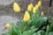 雨中、花弁を閉じたままの、「チューリップ」(30.4.18)