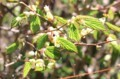 若葉が萌え出した「ヒュウガミズキ'(日向水木)].」(30.4.20)