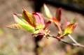 お気に入り、「ナツハゼ(夏櫨)」の若葉。(30.4.20)