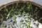 「バケツ稲」、播種3周間で、緑色に。(30.4.21)