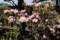暑さに負けそうな「アズマシャクナゲ(東石楠花)」の花。(30.4.21)