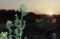 「菜の花」に、夕日が沈む。(30.4..22)(18:12)