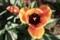 上から覗いた「チューリップ」の花。(30.4.23)
