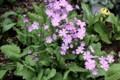 「サクラソウ(桜草)」も風に吹かれて。(30.4.23)