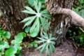 奇妙な名の「ヤブレガサ(破れ傘)」の芽生え。(30.4.23)