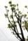 脚立に乘って、コシアブラの若芽を採取。(30.4.24)