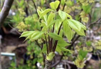 今が食べごろの「コシアブラ(漉油)」の芽。(30.4.24)