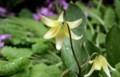 雨に打たれ、うつむいた「キバナノカタクリ」。(30.4.25)