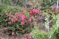 佐久市立中央図書館植え込みで観た「花モモ」(30.4.25)