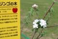 「ニュートンのリンゴの木」、白い花。(30.4.25)