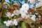 今が見頃の「サトザクラ(里桜)」(30.4.25)
