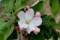 「ひろば」の記念樹・「ニュートンのリンゴの木」開花。(30.4.)