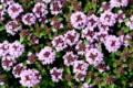 「イブキジャコウソウ(伊吹麝香草)」の花と葉。830.4.27)