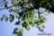 香取神社、駐車場わきの「せんだんの木」。(30.5.1)