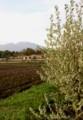 「アキグミ(秋茱萸)」花が満開、スッキリああみ香りが…。(30.5.3)