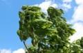 強風に、「トチの若葉」がなびく。(30.5.4)