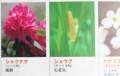 誕生日の花、5日ショウブ、6日シャクナゲ。