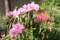 「遠州石楠花・細葉石楠花」も見頃に。(30.5.6)