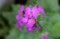 月に由来する名の「ルナリア・合田草」の花。(30.5.7)