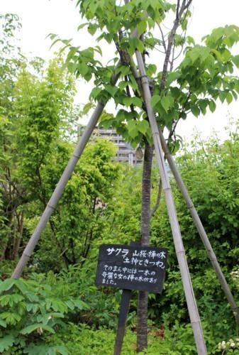 「オオヤマザクラ(大山桜)」の株元に置いた、「大型名札」(30.5.9)