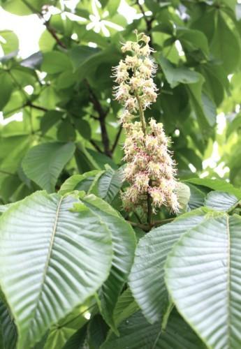 「トチ(栃・橡)」が開花。(30.5.9)