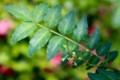 テレビ放映、「サンショウの葉への産卵」(30.5)
