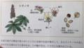 興味深い「トチ(栃・橡)」の花」。(30.5.12)