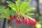 新緑に「赤い壺型の小花」、「紅満天星」。(30.5.15)