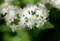 白い小花が美しい、「サワフタギ(沢塞)」(30.5.15)