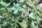 庭先に出して並べた、「カネノナルキ・クラッスラー」。(30.5.16)