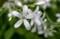 暑さを和らげる「タガソデソウ(誰袖草)」の白い花。(30.5.16)
