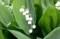 暑さを和らげる「スズラン(鈴蘭)」の白い花。(30.5.16)
