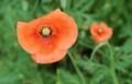 見栄えが良い、「ナガミノヒナゲシ」の花。(30.5.17)