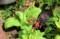 水生植物標本として植えた「クリンソウ(九輪草)」。(30.5.18)