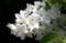 「ヒメウツギ(姫空木)」、雄しべ・花糸の形。(30.5.18)