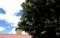 「西洋トチの木」?(飯綱町」(30.5.19)