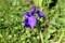 畦のわきに植栽、「カキツバタ(杜若)」が開花。(30.5.20)