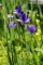 「アヤメ(文目)」の花も咲いて。(30.5.21)