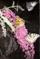 喋が集まる「ブッドレア」の花。(図鑑より)