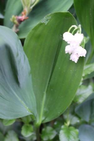 「ドイツスズラン」、裏側の葉が光沢のある濃い緑色。(30.5.23)