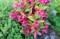 「ベニウツギ(紅空木あ9」の花。(30.5.25)