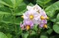 観賞価値のある「ジャガイモ」の花。(30.5.27)