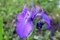 胆汁な白い紋、「カキツバタ(杜若)」の花。(30.5.27)