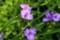 雨が期待される「ムラサキツユクサ(紫露草)」。