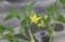 苗状態で、花と実を着けた「ミニトマト」。(30.5.30)